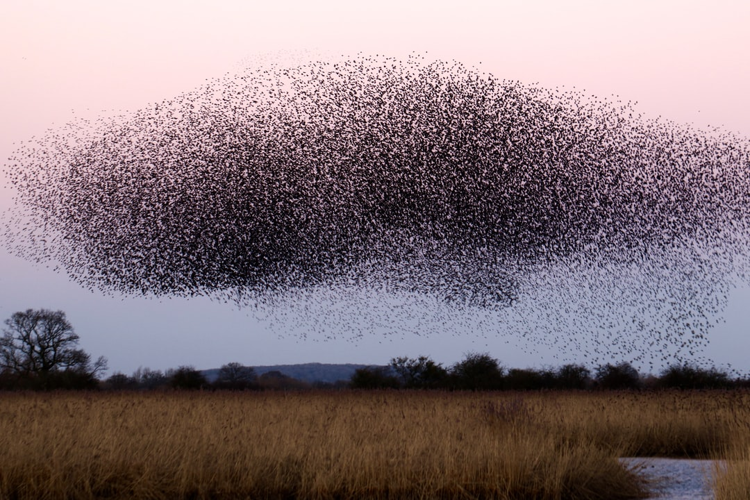 A whale in the sky( Starling roost at Otmoor UK )