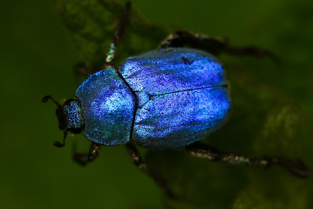 macro shot of blue beetle