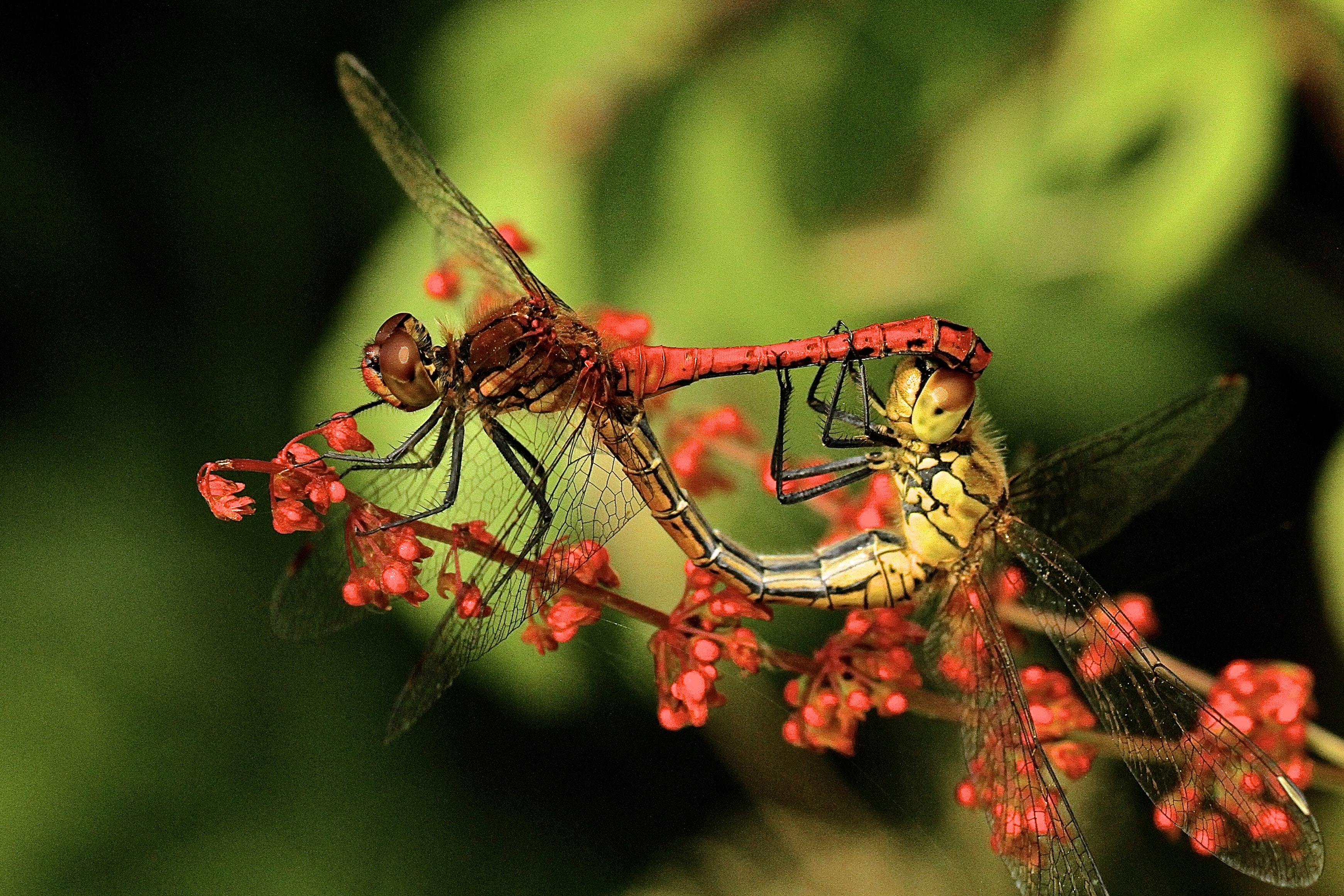 close up photography of two dragonflies