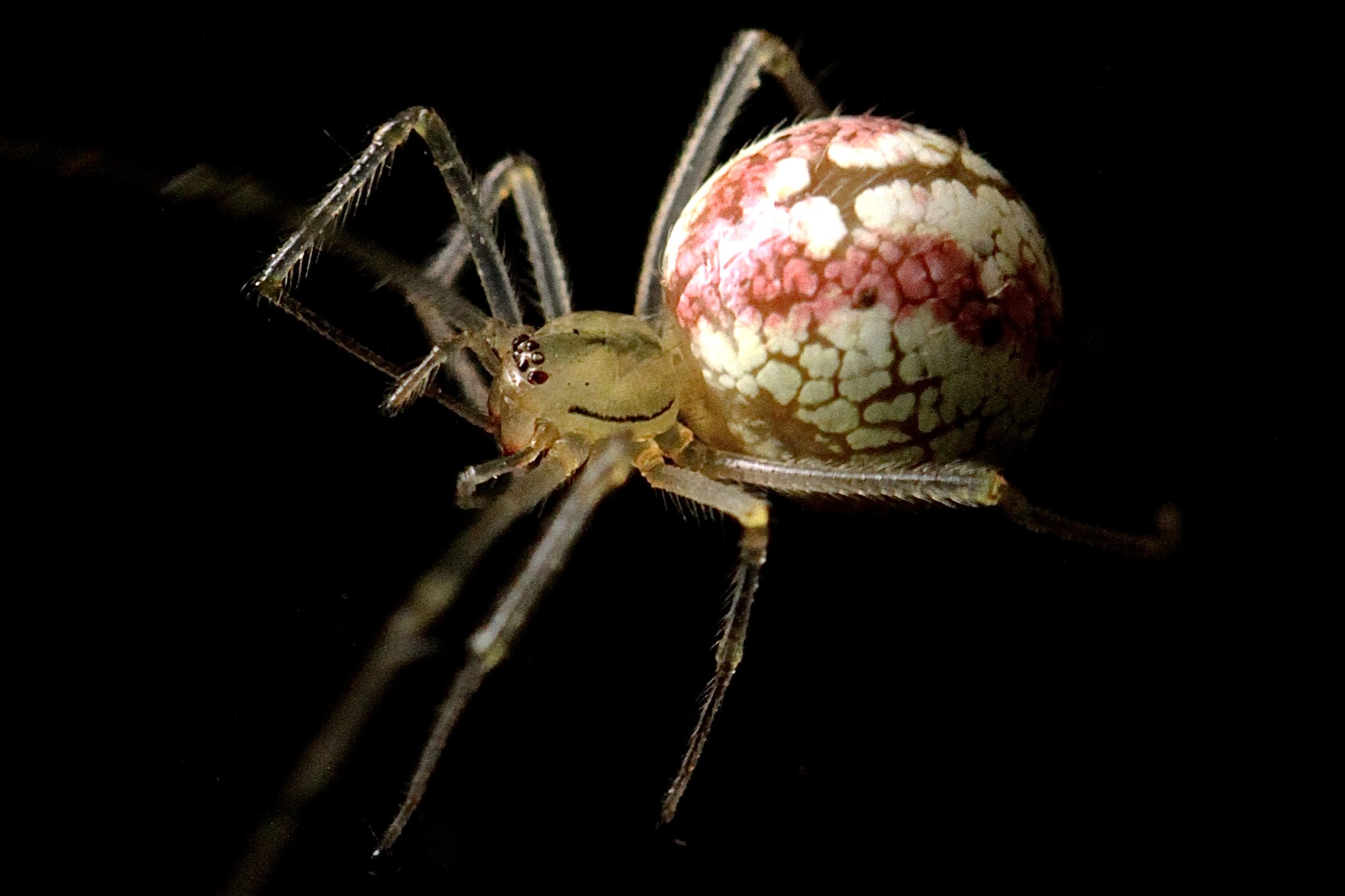 macro photograph brown and white spider