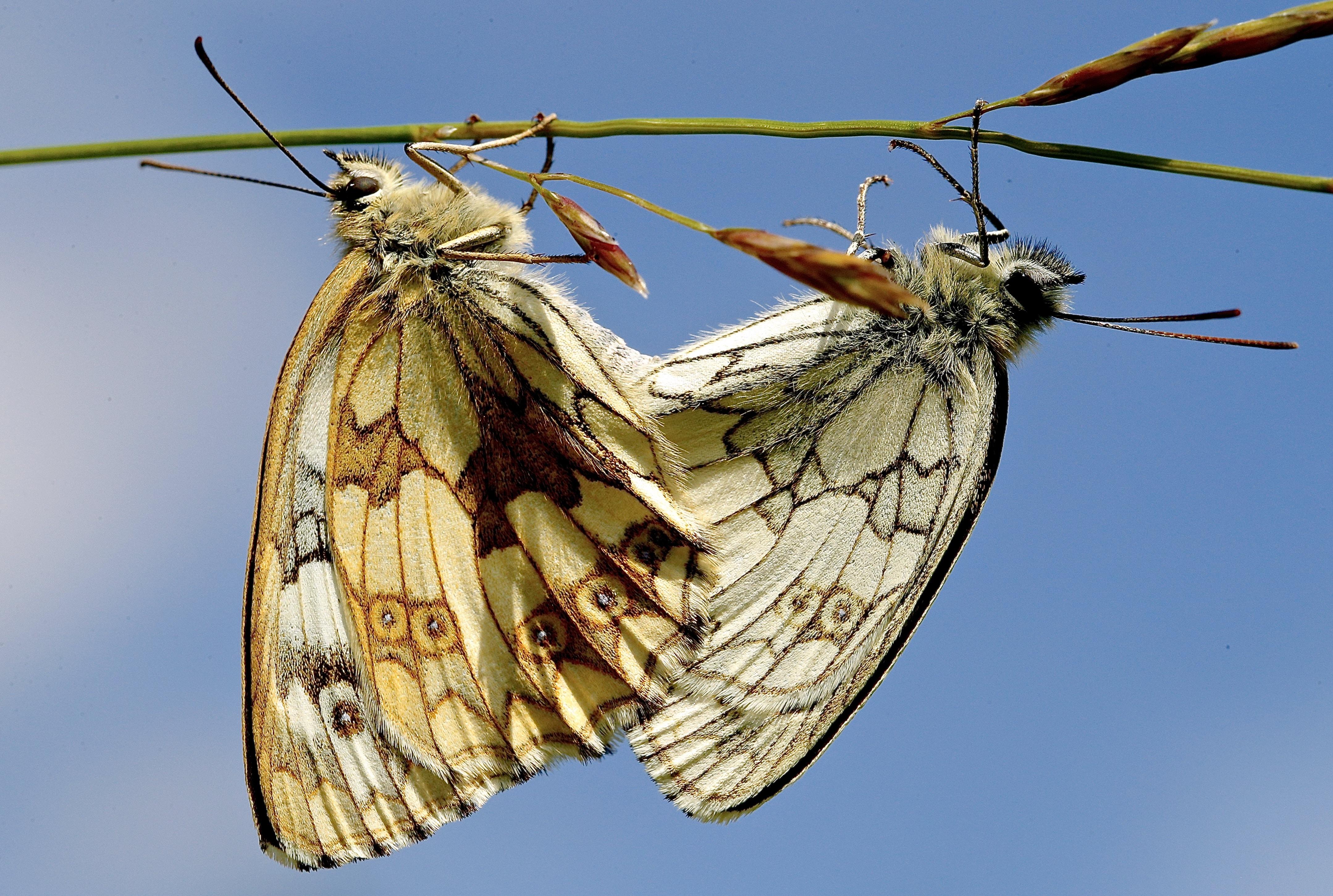 two brown butterflies