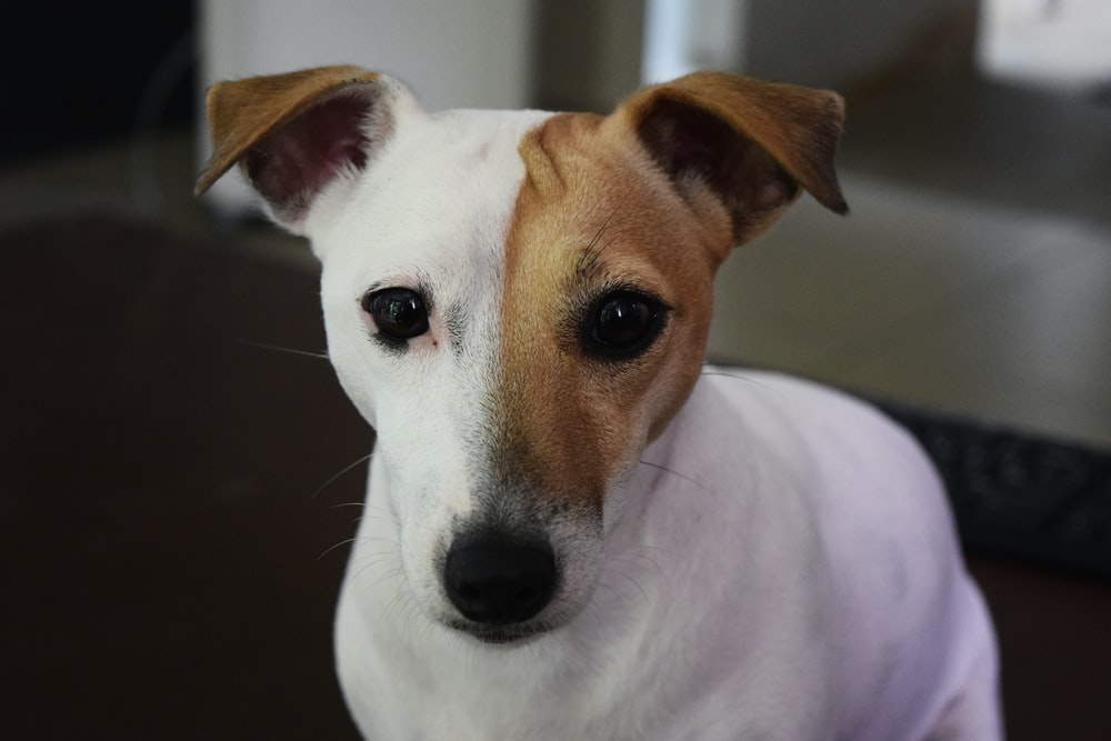 short-coated white and brown dog