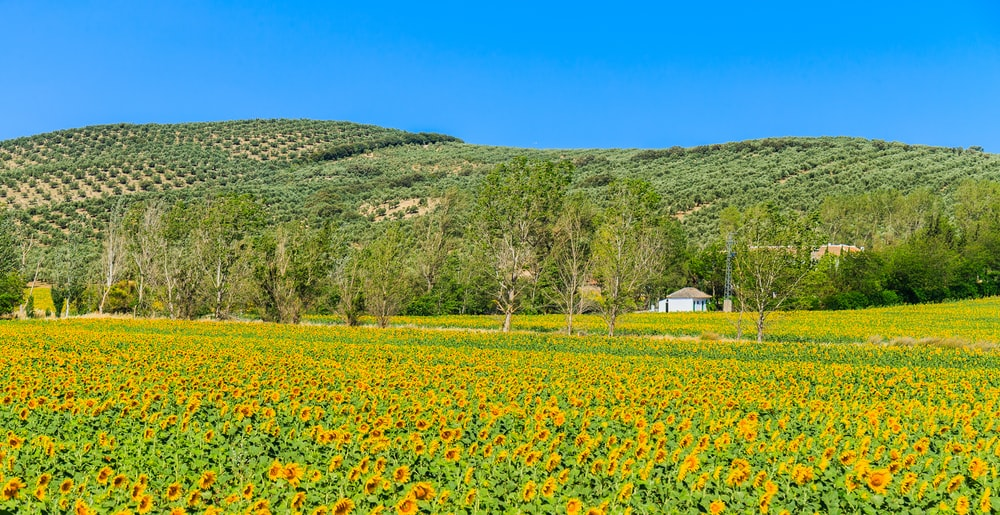 house in the middle of sunflower field