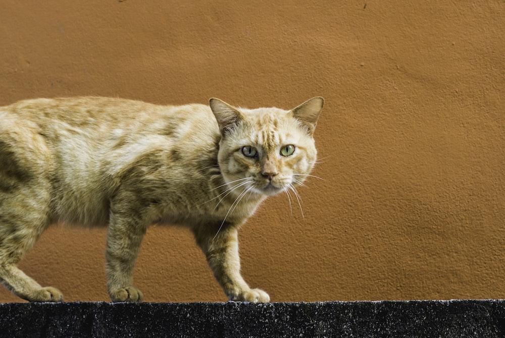 orange tabby cat walking on concrete wall