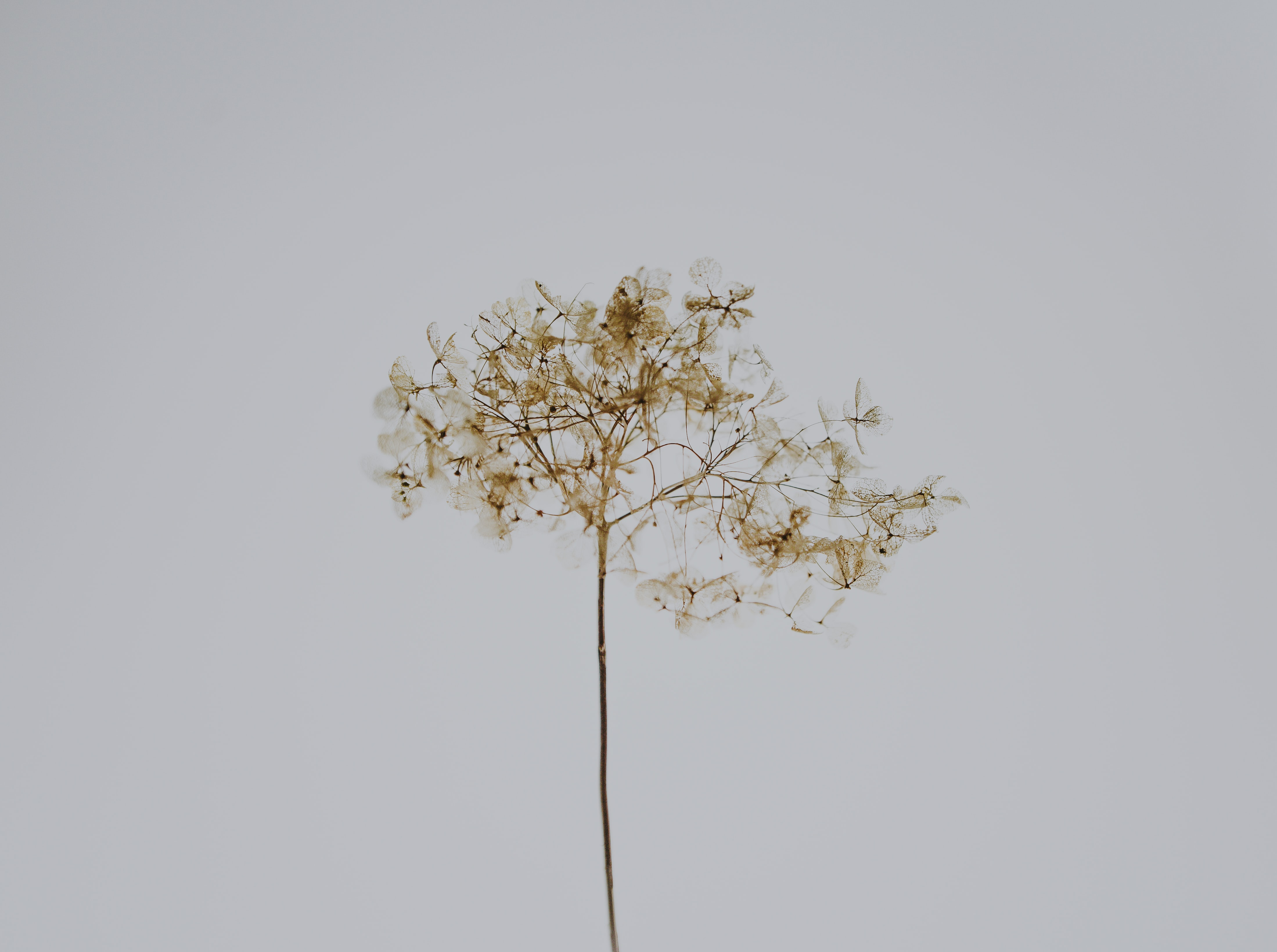 brown dandelion