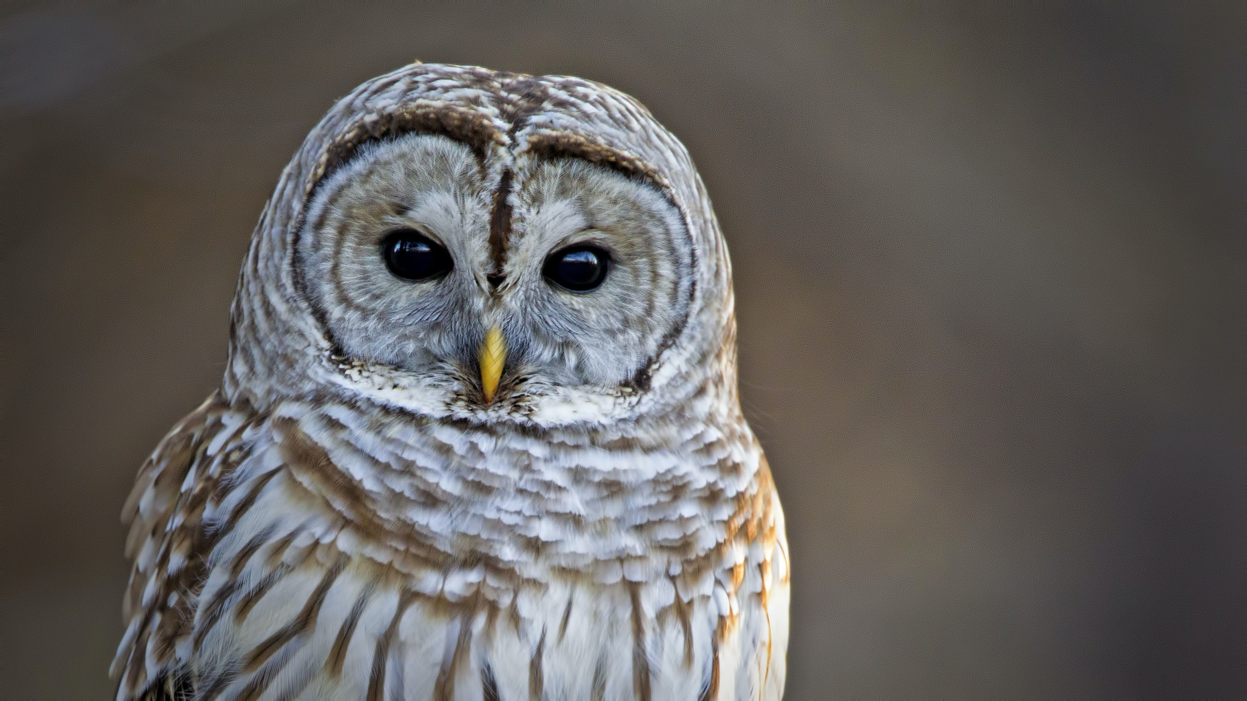 white and brown barn owl