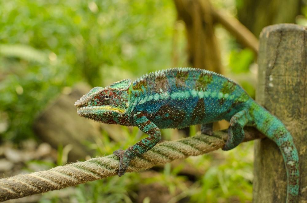 blue and green iguana closeup photo