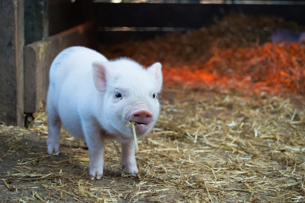 white piglet chewing hay