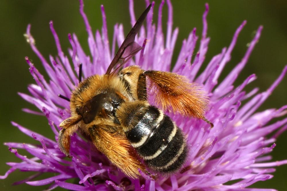 bee drinking on purple flower