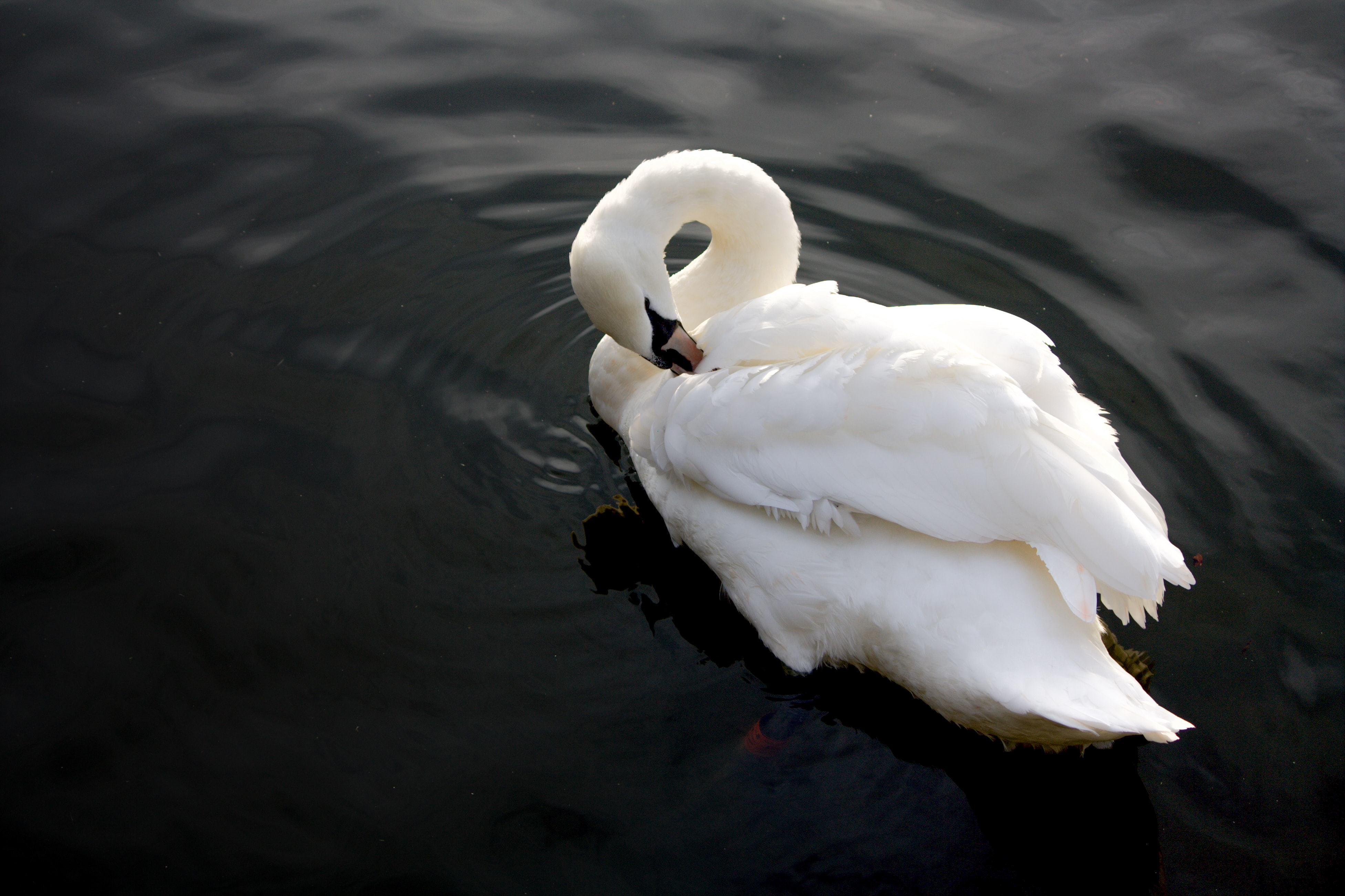 mute swan on body of water
