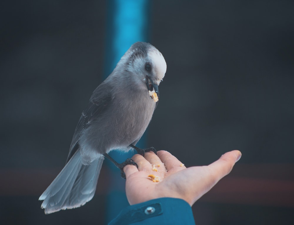 gray bird eating on person's hand