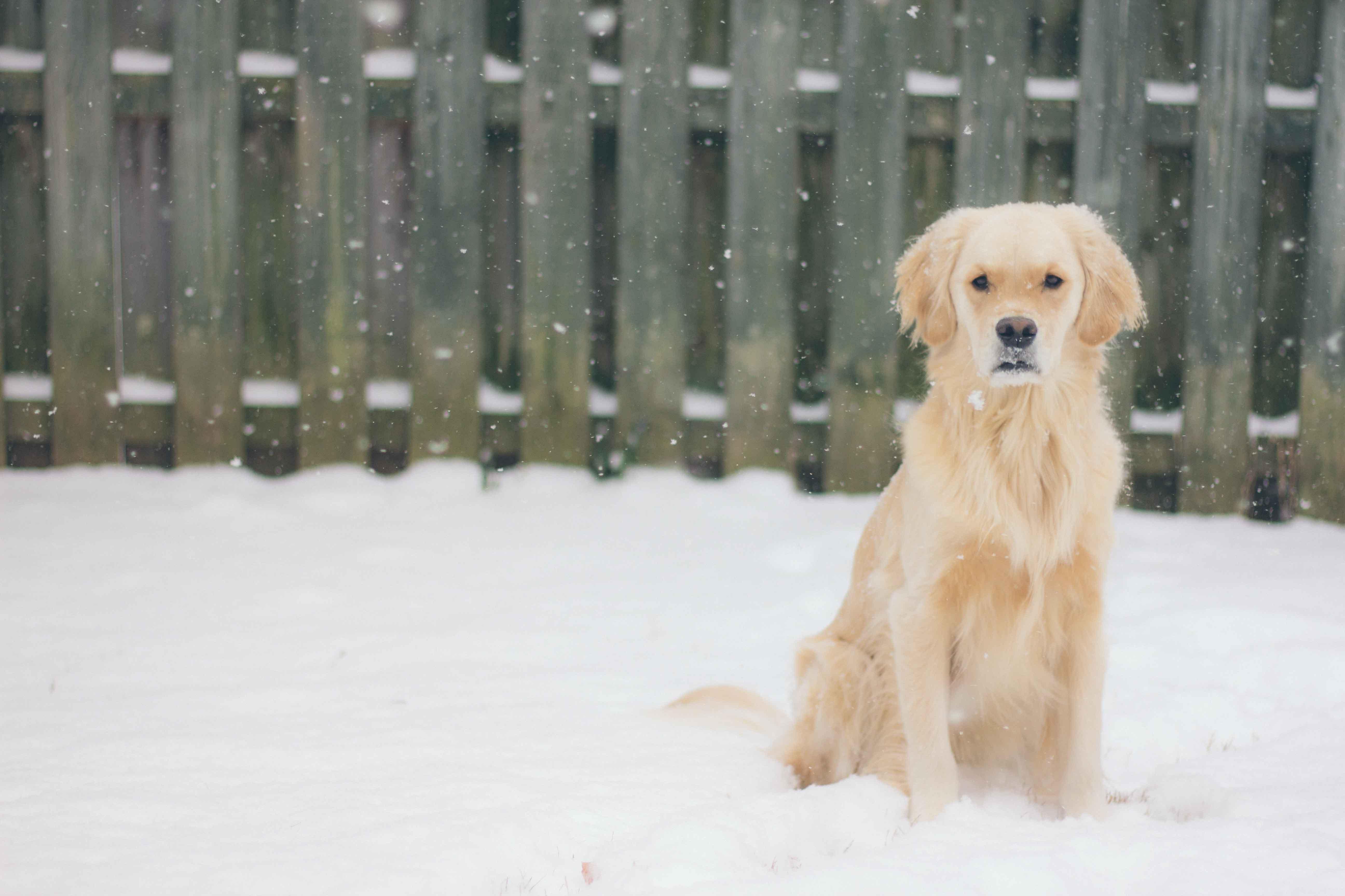 long-coated beige dog