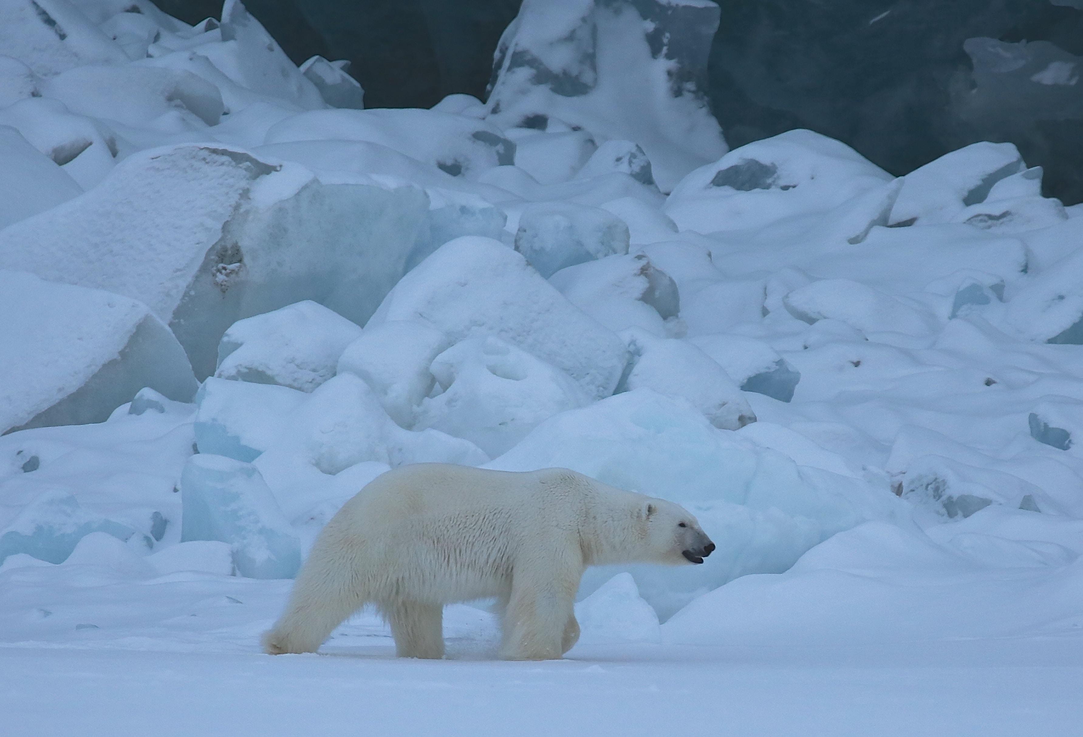 polar bear on snow land