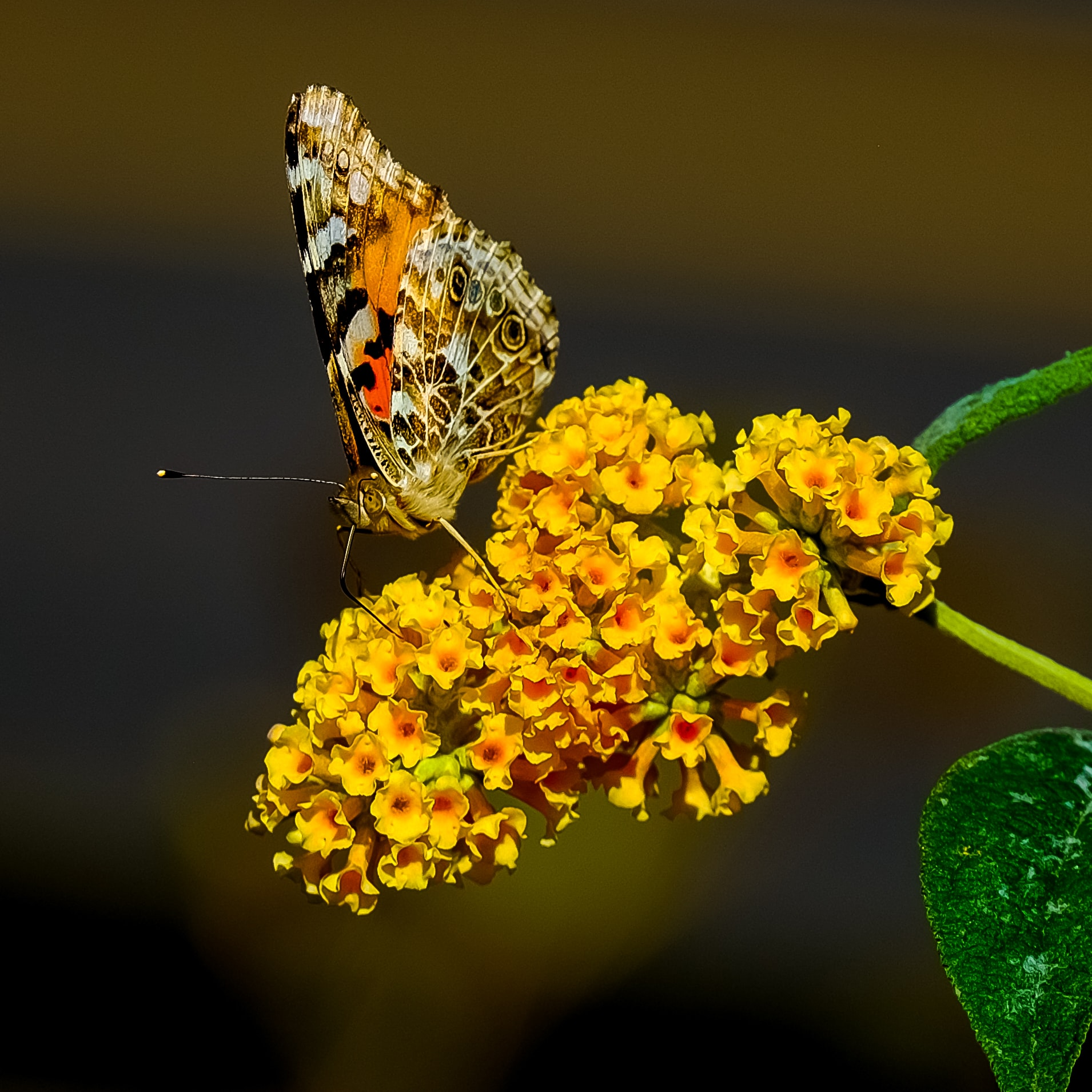 brown and orange butterfly perched on yellow lantana flowers