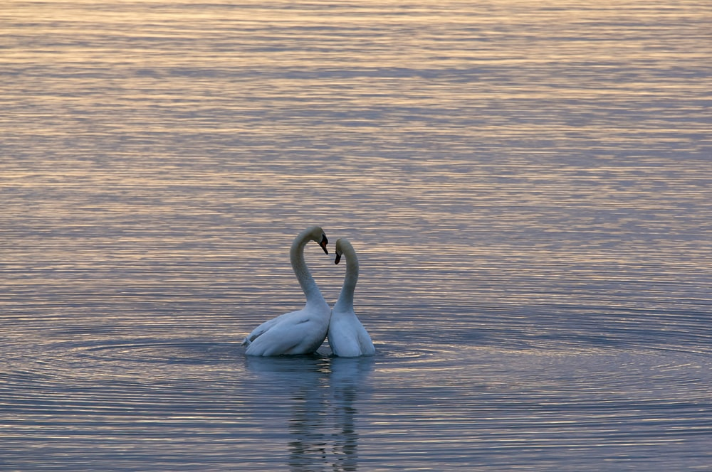 two white swan on body of water
