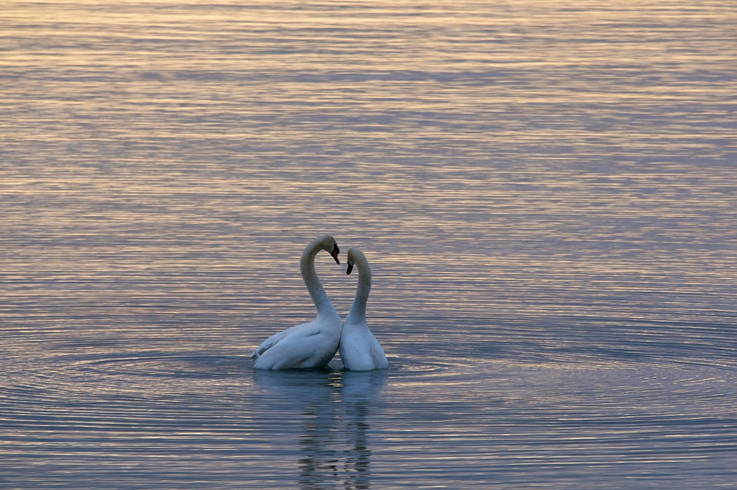 Swans only have one partner for their whole life. If their partner dies they could pass away from broken heart.