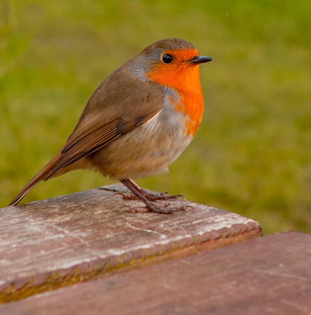 shallow focus photo of brown and orange bird
