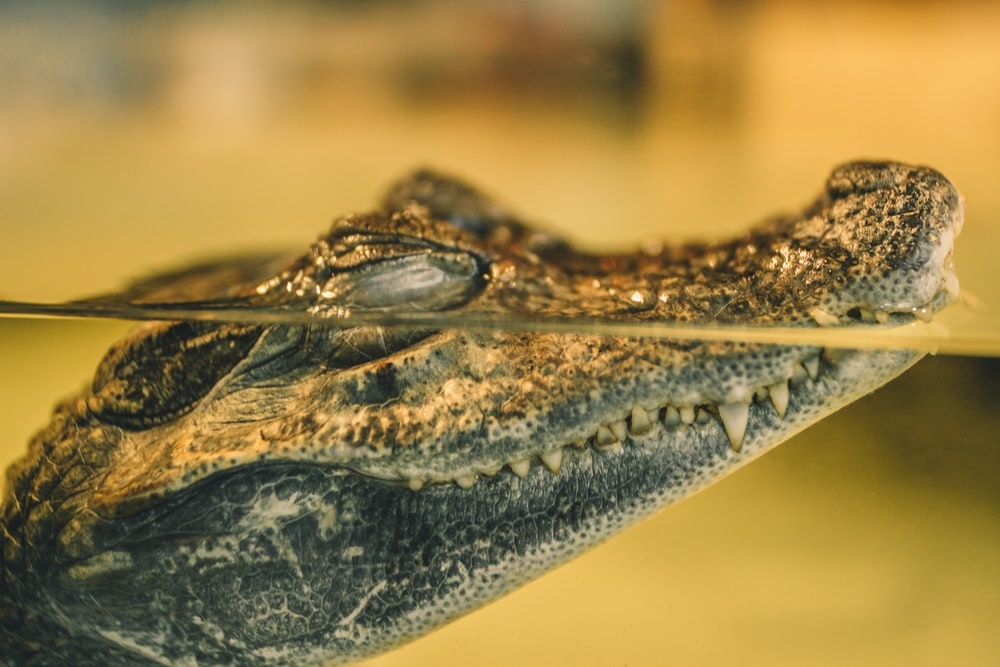 gray crocodile on water