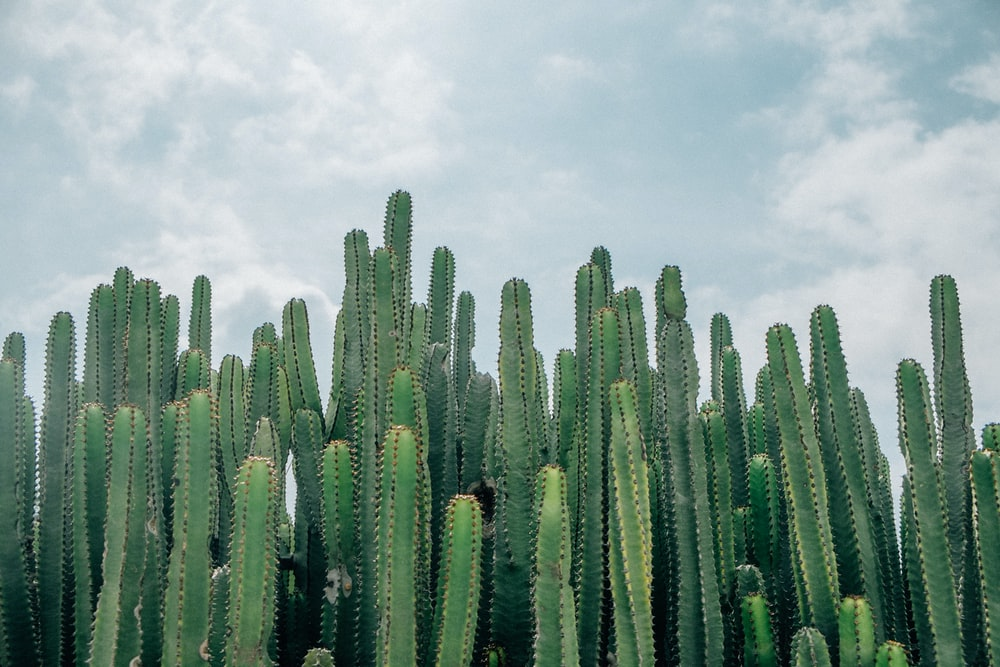 selective focus of green cacti