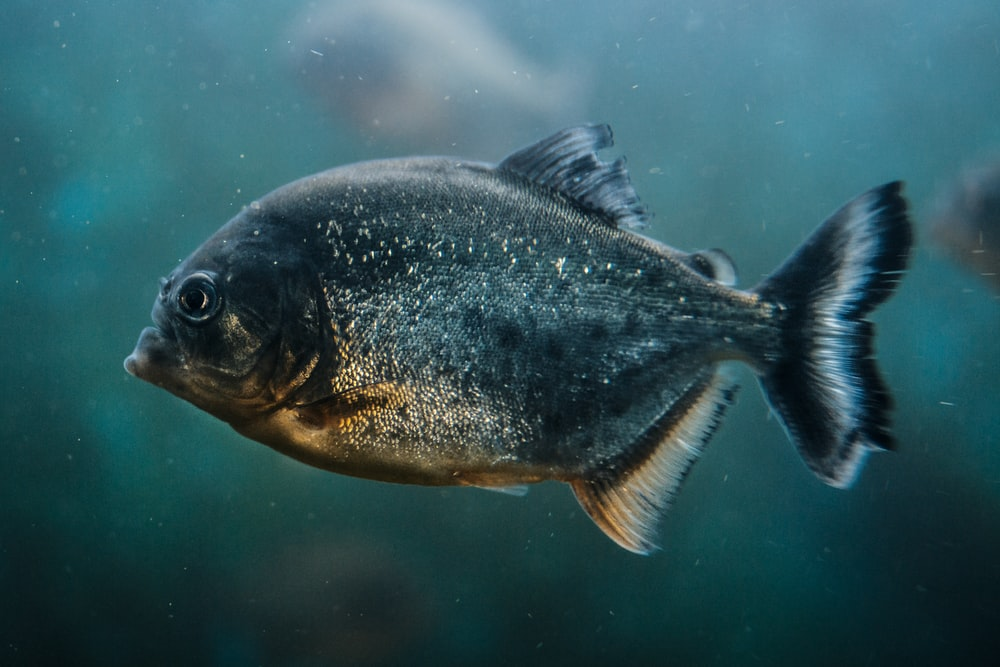 gray paco fish closeup photography