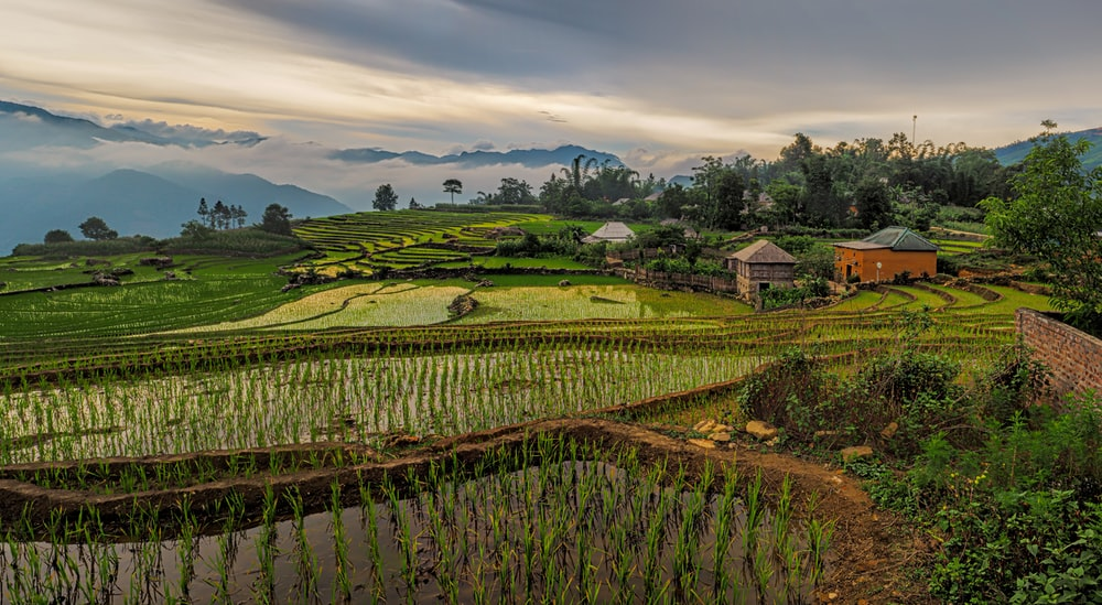 scenery of rice fields