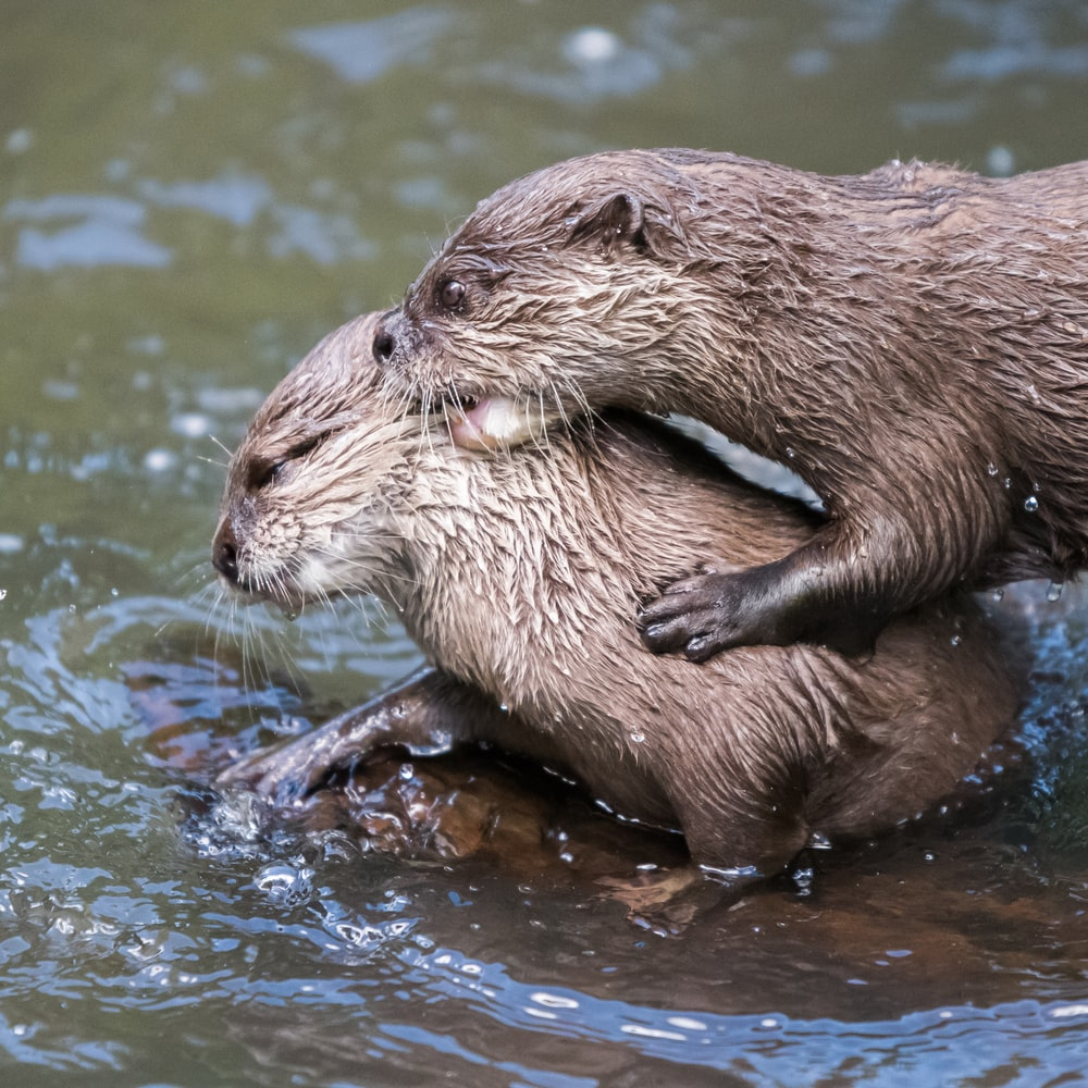 two brown otters on water