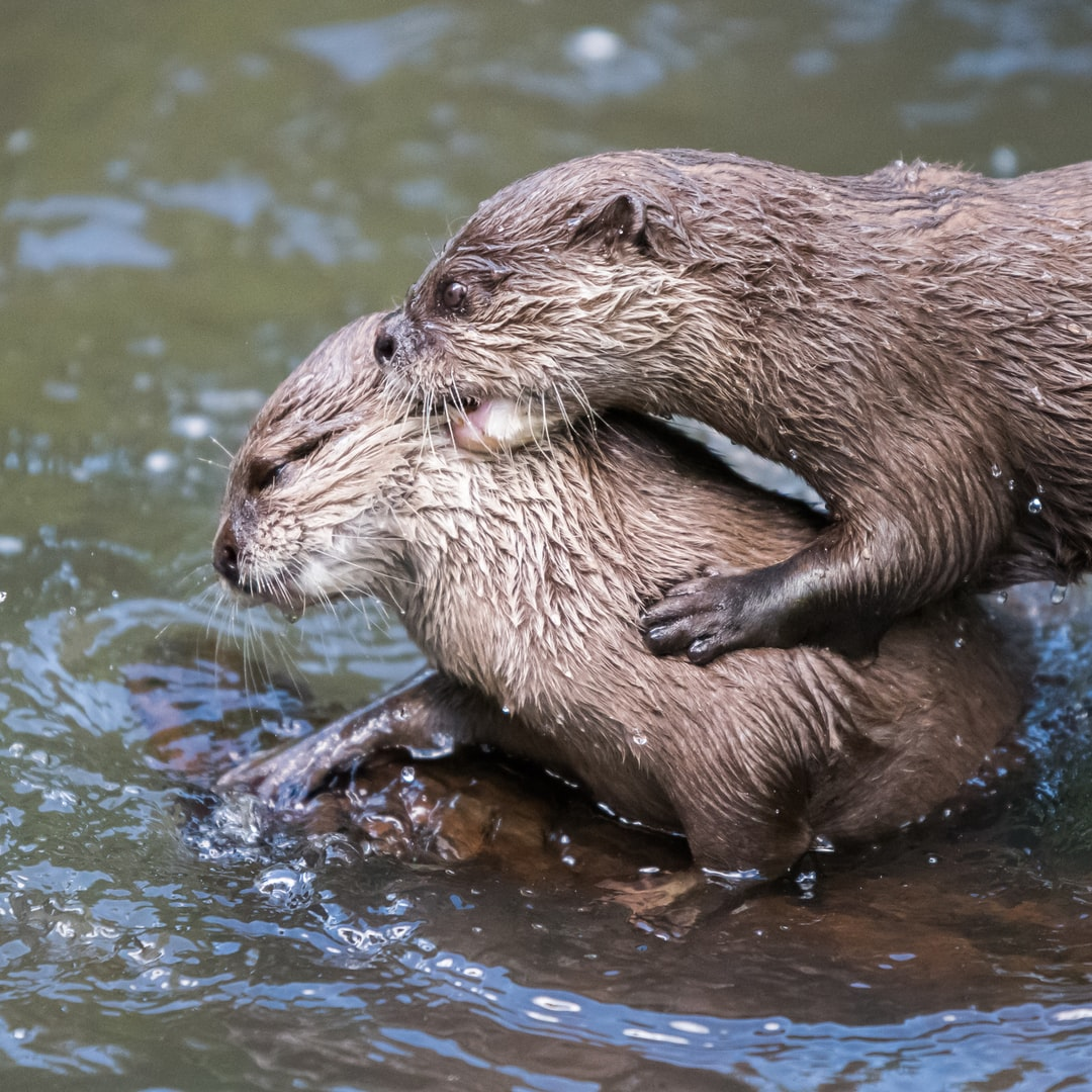 We were at Jersey Zoo and saw two baby otters which we were told were siblings playing with each other in the river. It looked a little rough at times, but the two of them seemed to be enjoying it while mother looked on a little bemused.