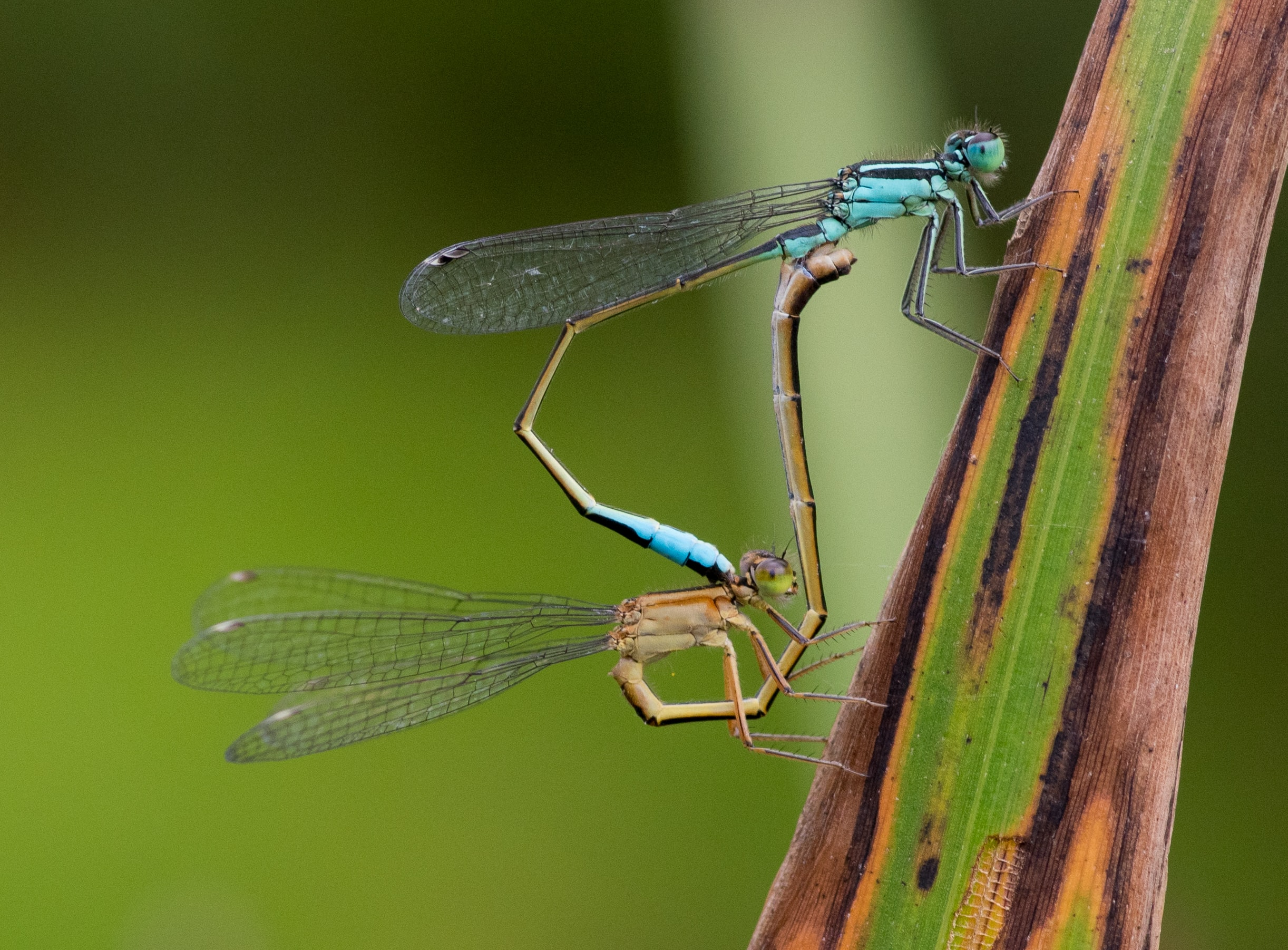 blue dragonflies on green leaf