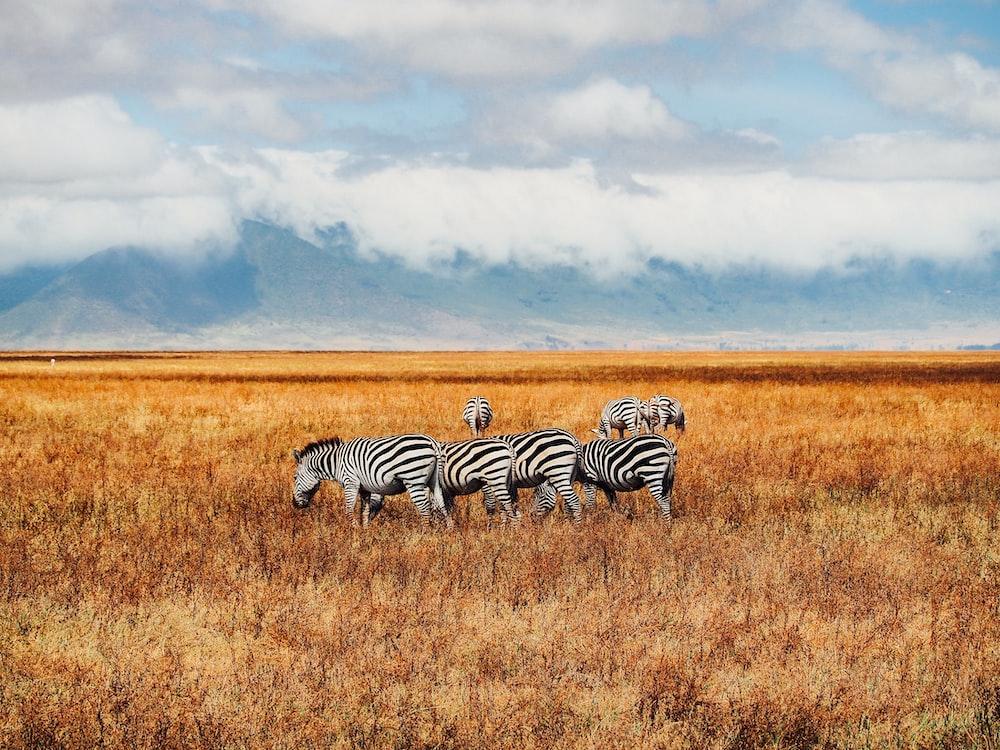 six zebras on grass field