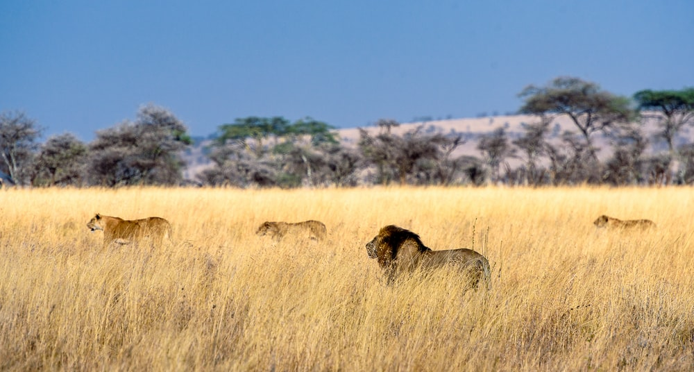 herd of lion on field during daytime
