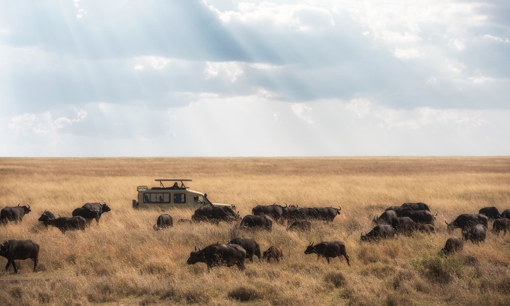 white SUV passing through herd of buffaloes during daytime