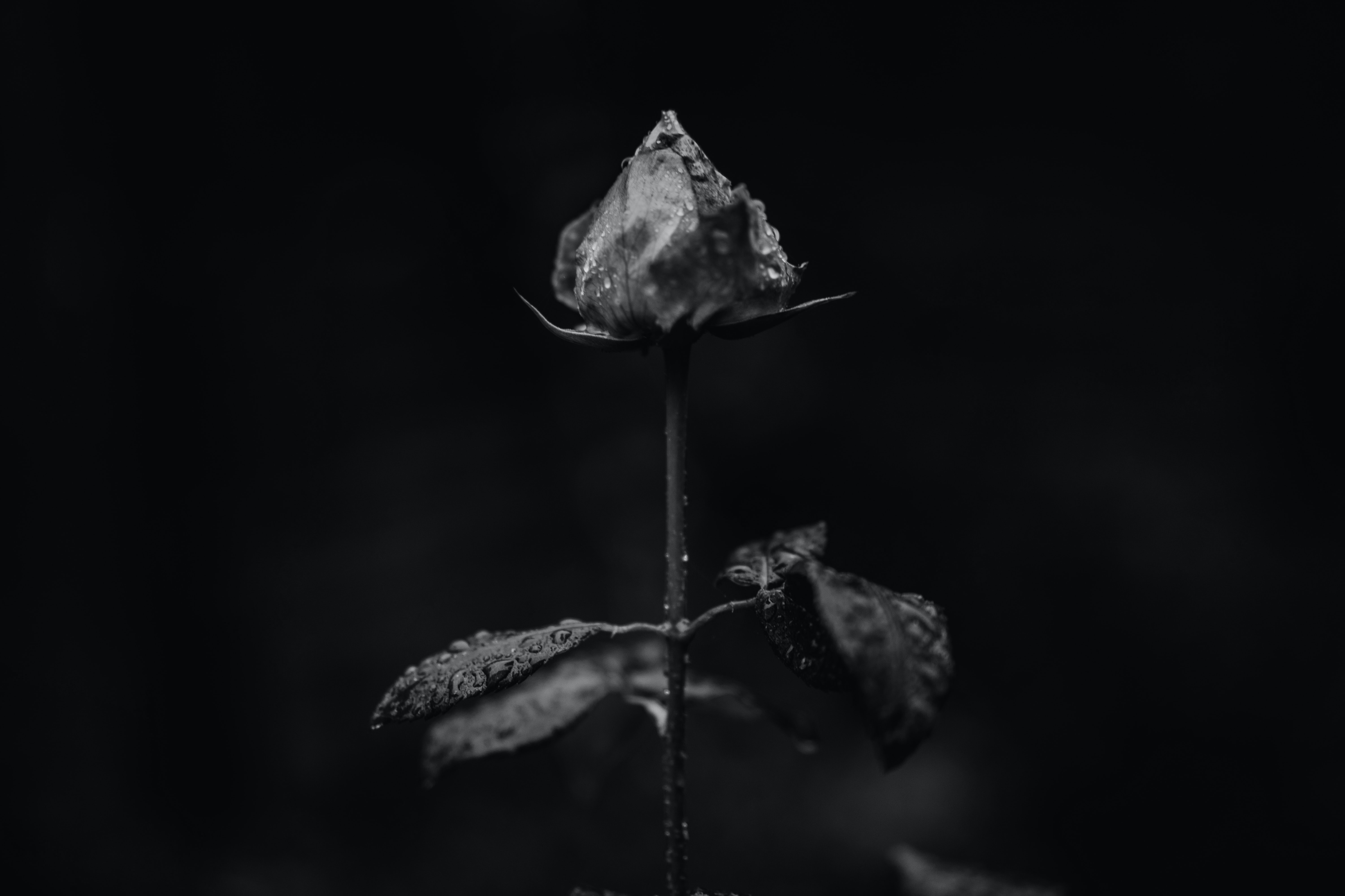 grayscaled photo of flower