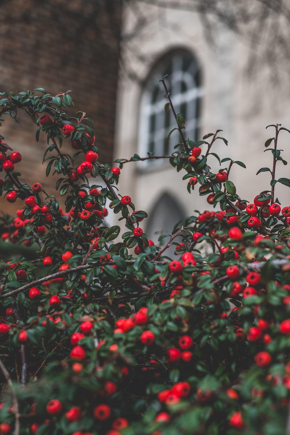 red fruit tilt shift photo