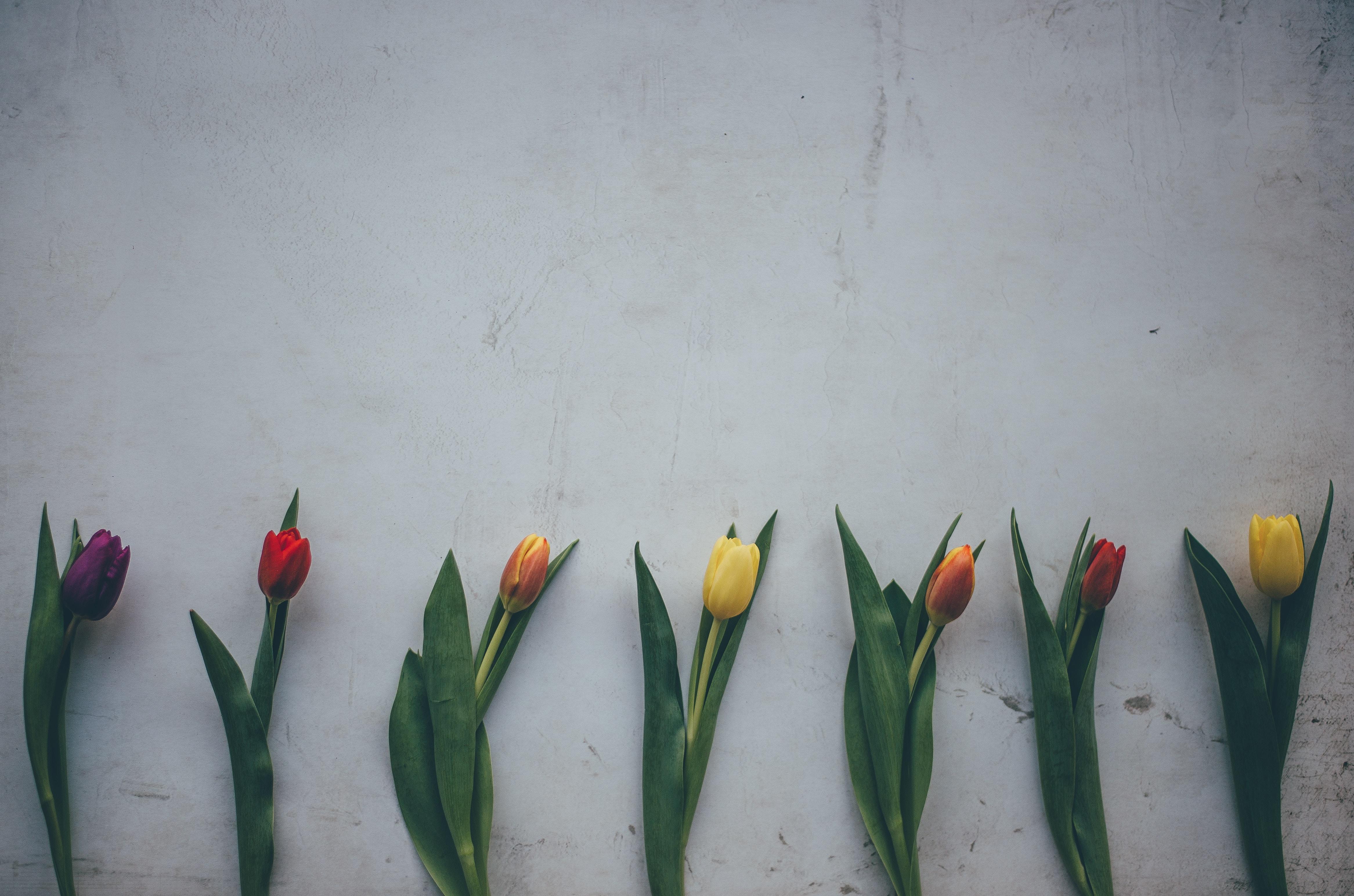 seven tulip flowers