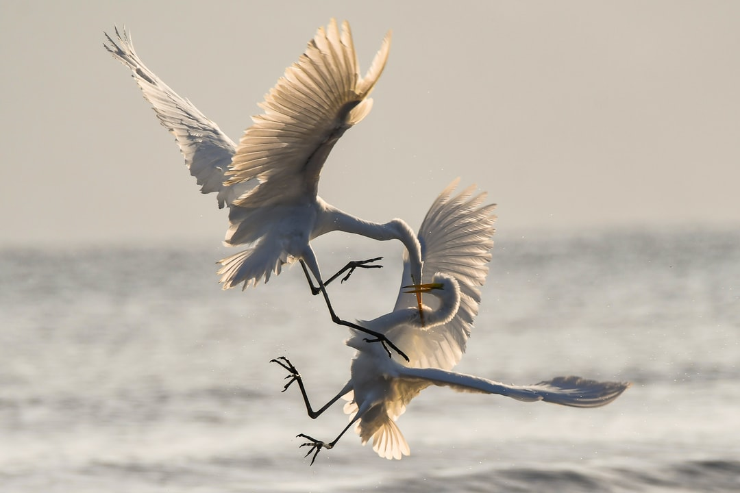 Dawn on the Sea of Cortez. Two Great Egrets battle for territorial fishing rights.