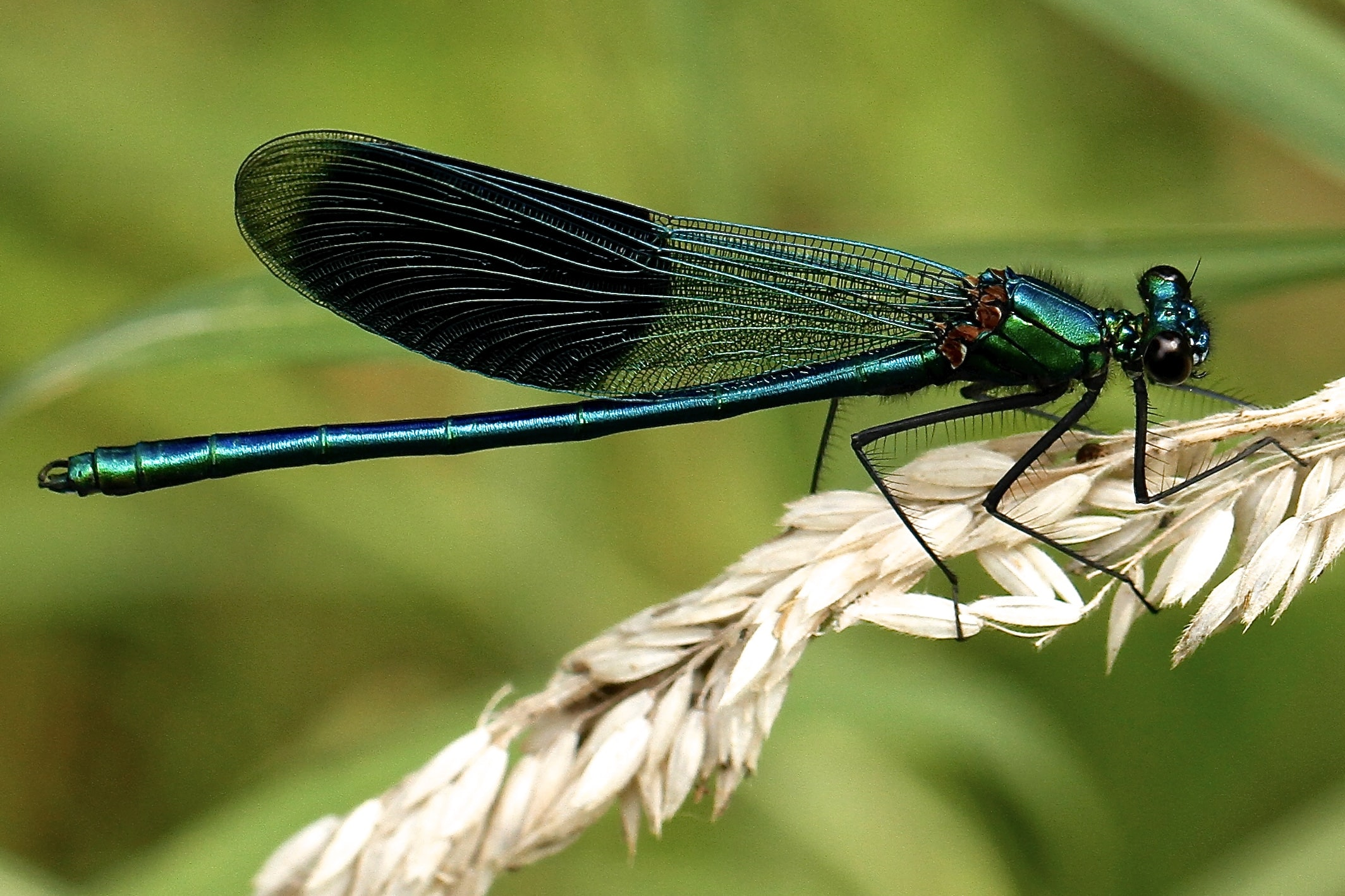 black and teal dragonfly