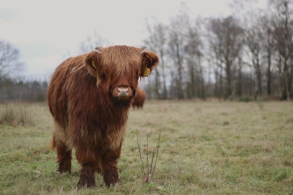 bison on green grass at daytime