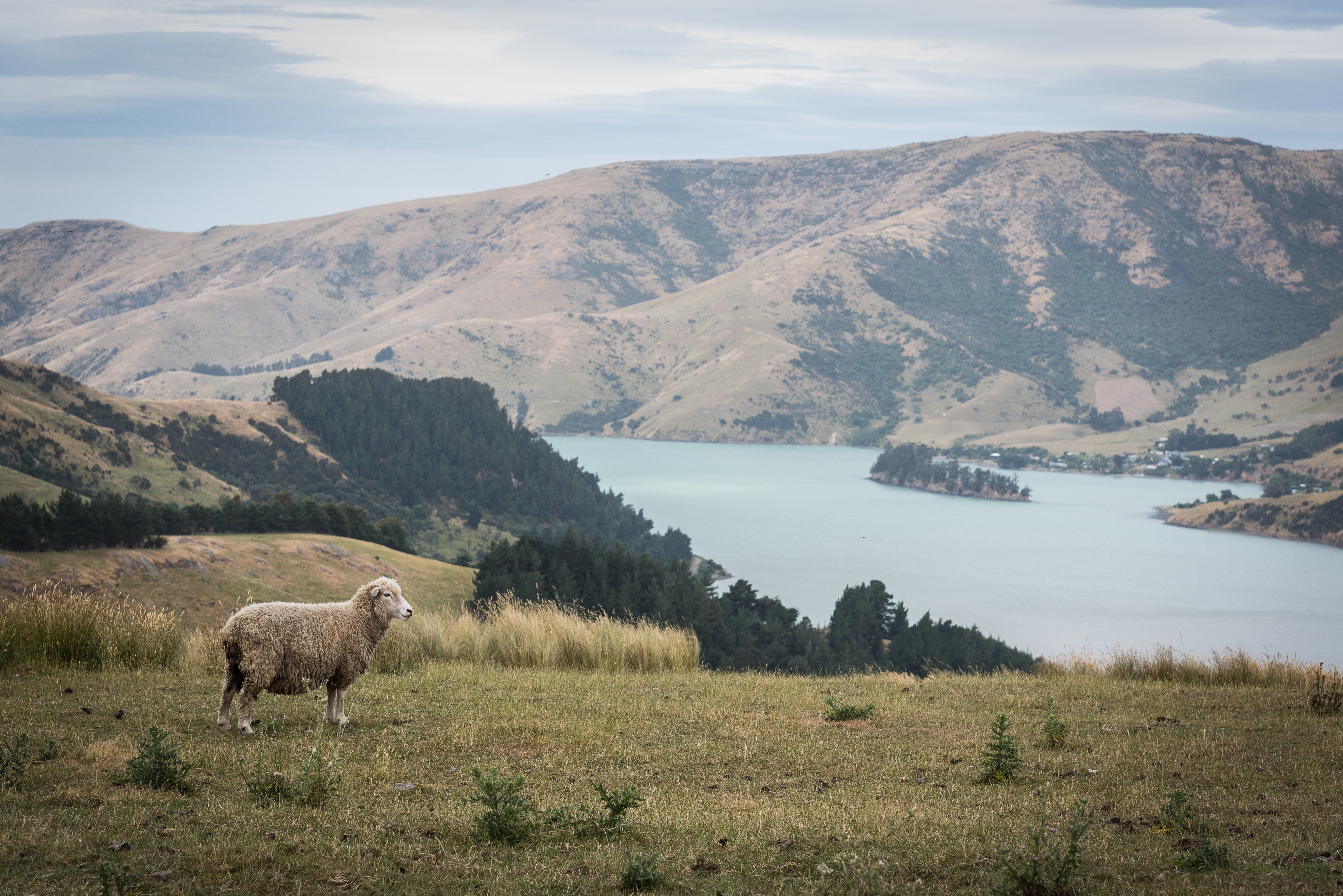 sheep standing on elevated ground overlooking lake during daytime