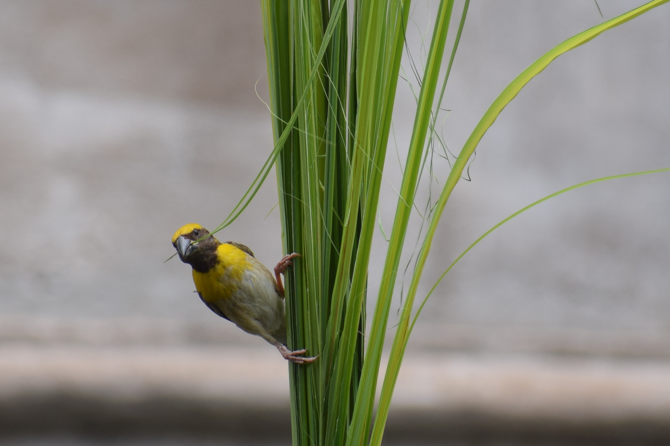 yellow and gray birds perched on green leaf