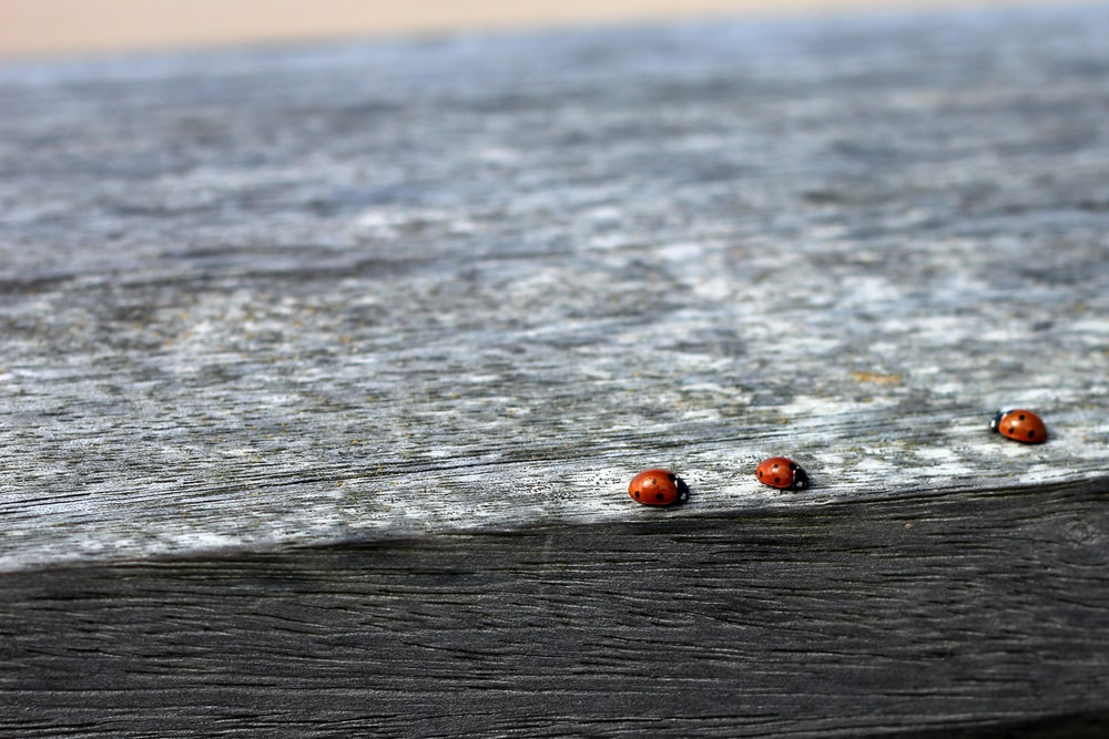 photo of three ladybug on black and gray surface