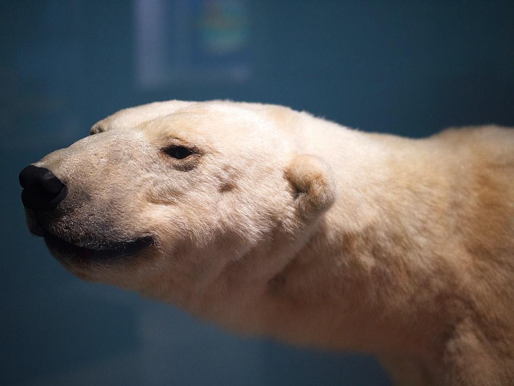 tilt shift lens photography of adult polar bear