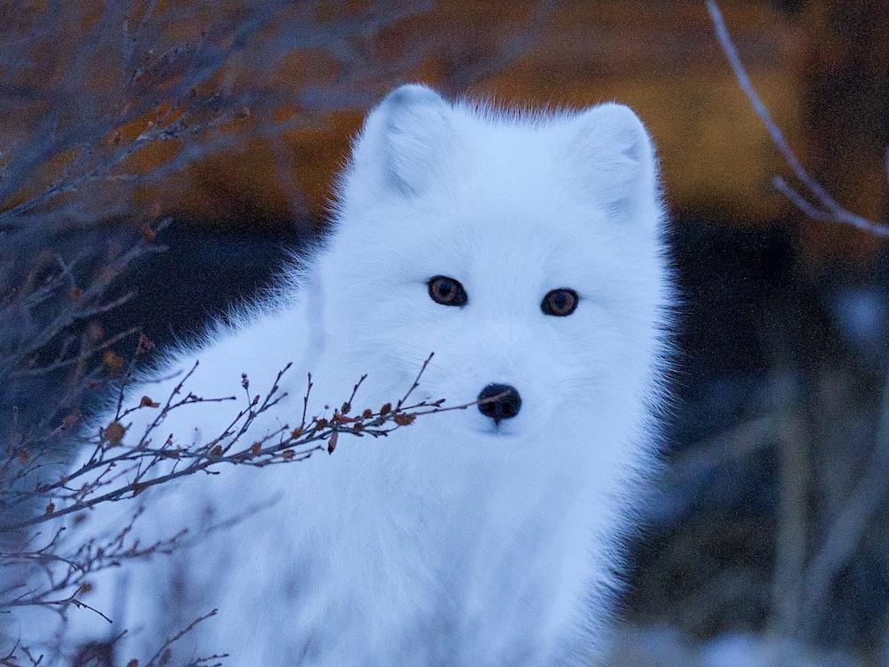 wildlife photography of snow fox