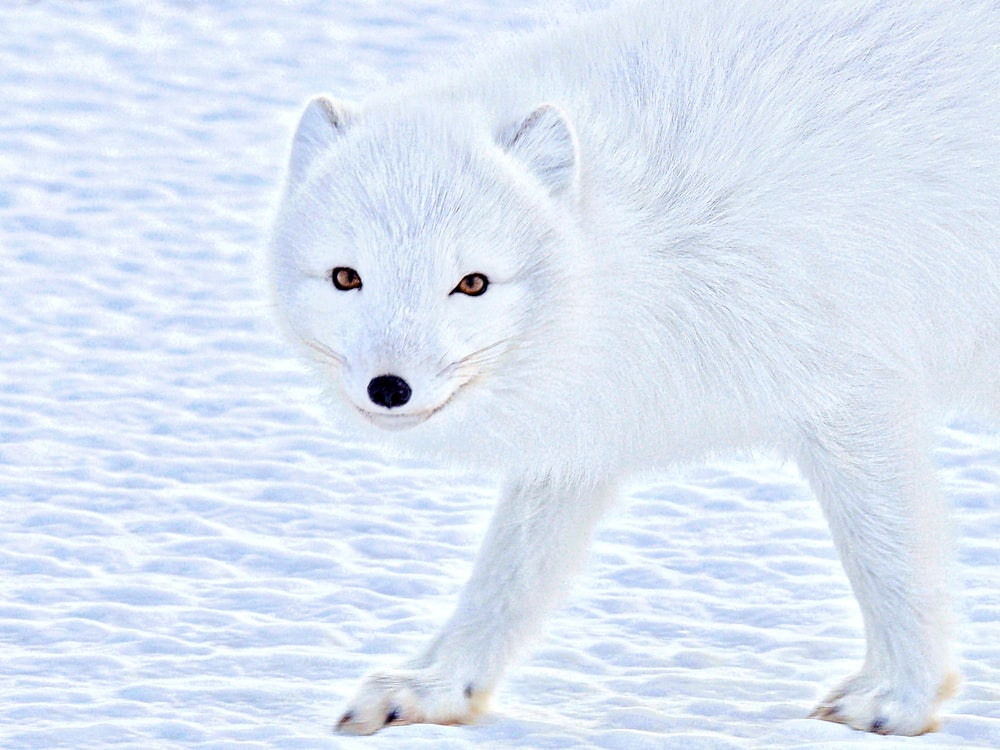 wildlife photography of a white wolf