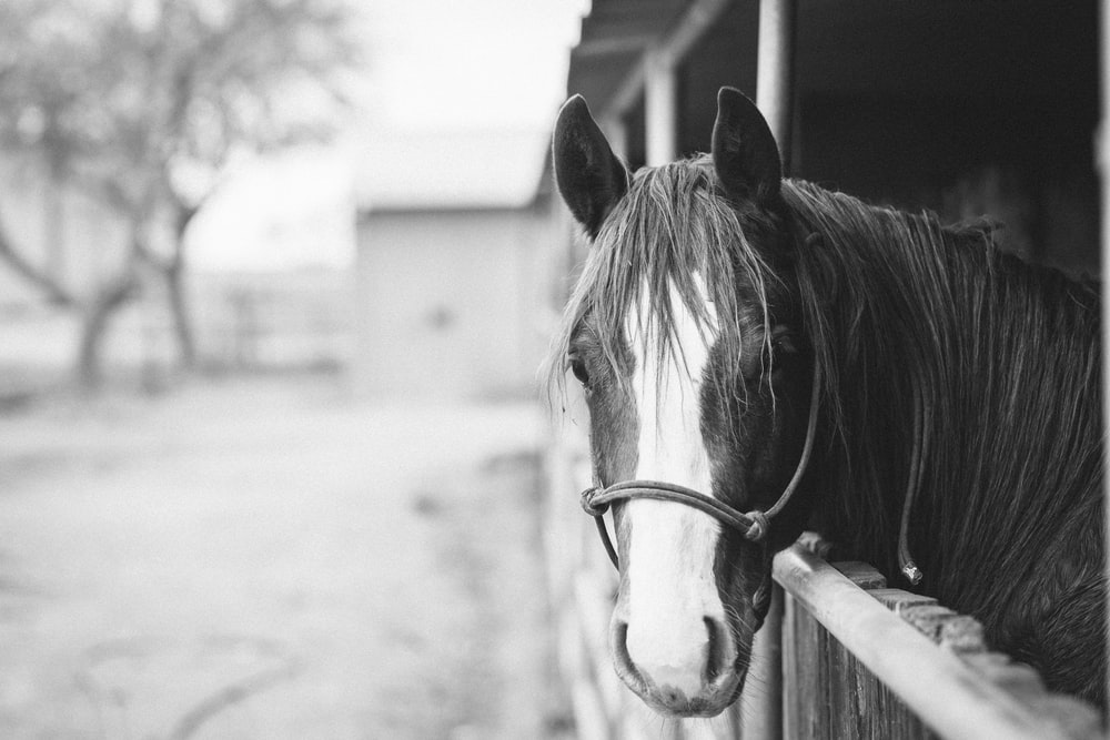 horse in grayscale photography