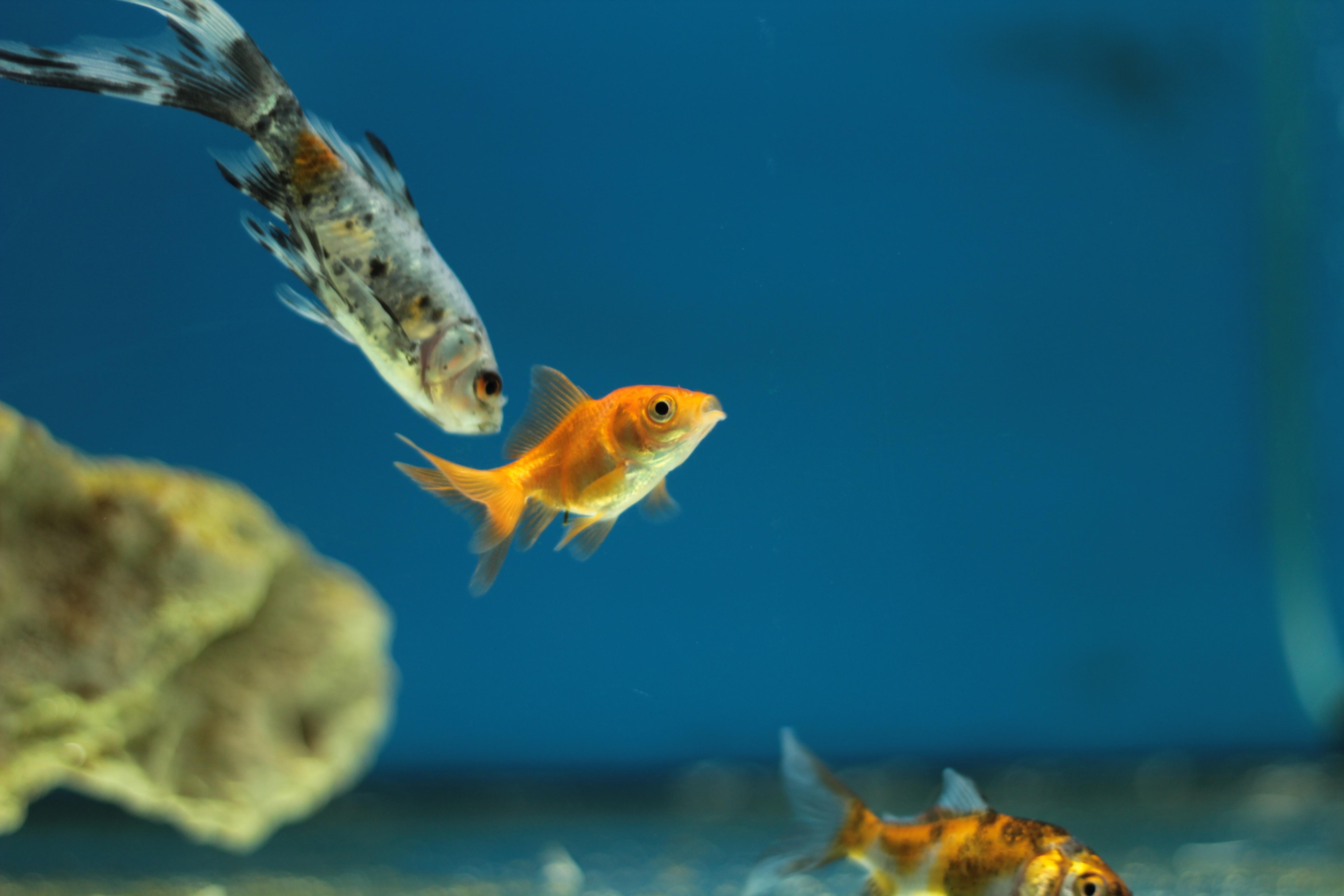 depth photography of orange guppies