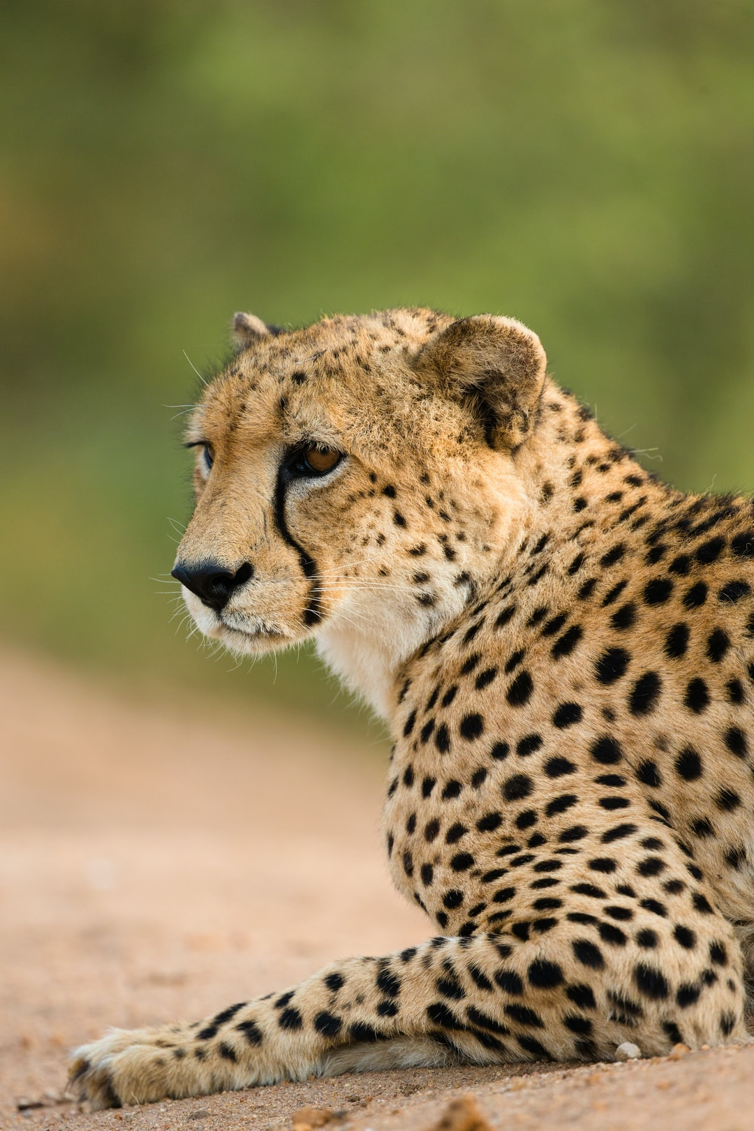 A beautiful Cheetah captured in the greater Kruger area.