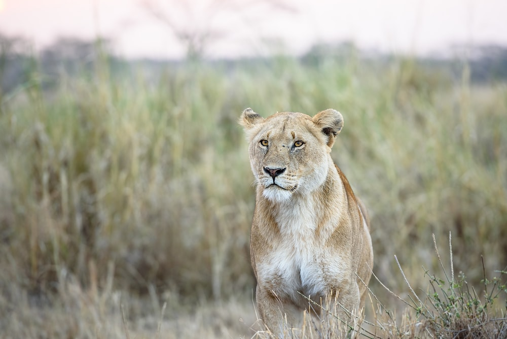 photo of white and brown lion on grass