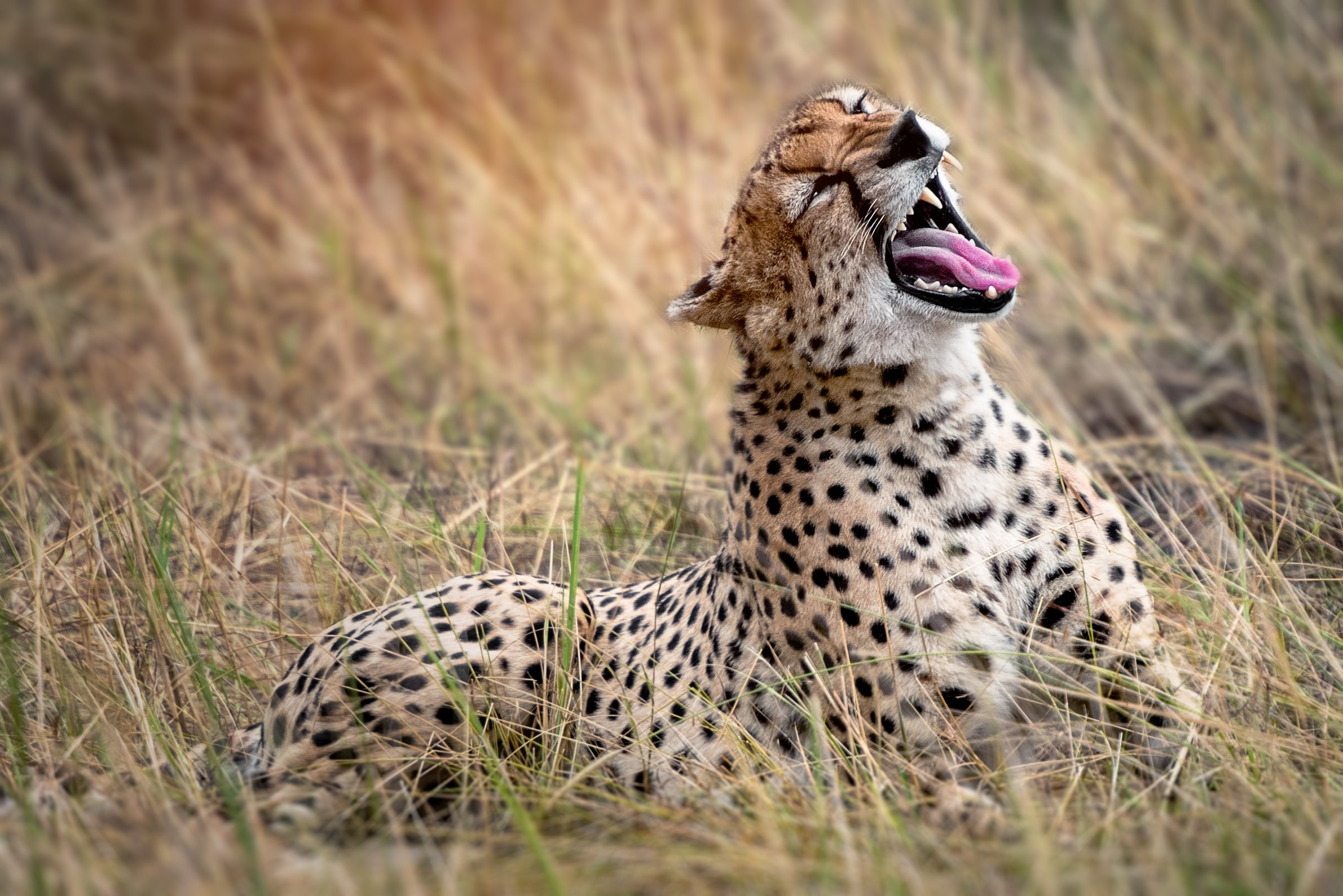 cheetah resting on grasses