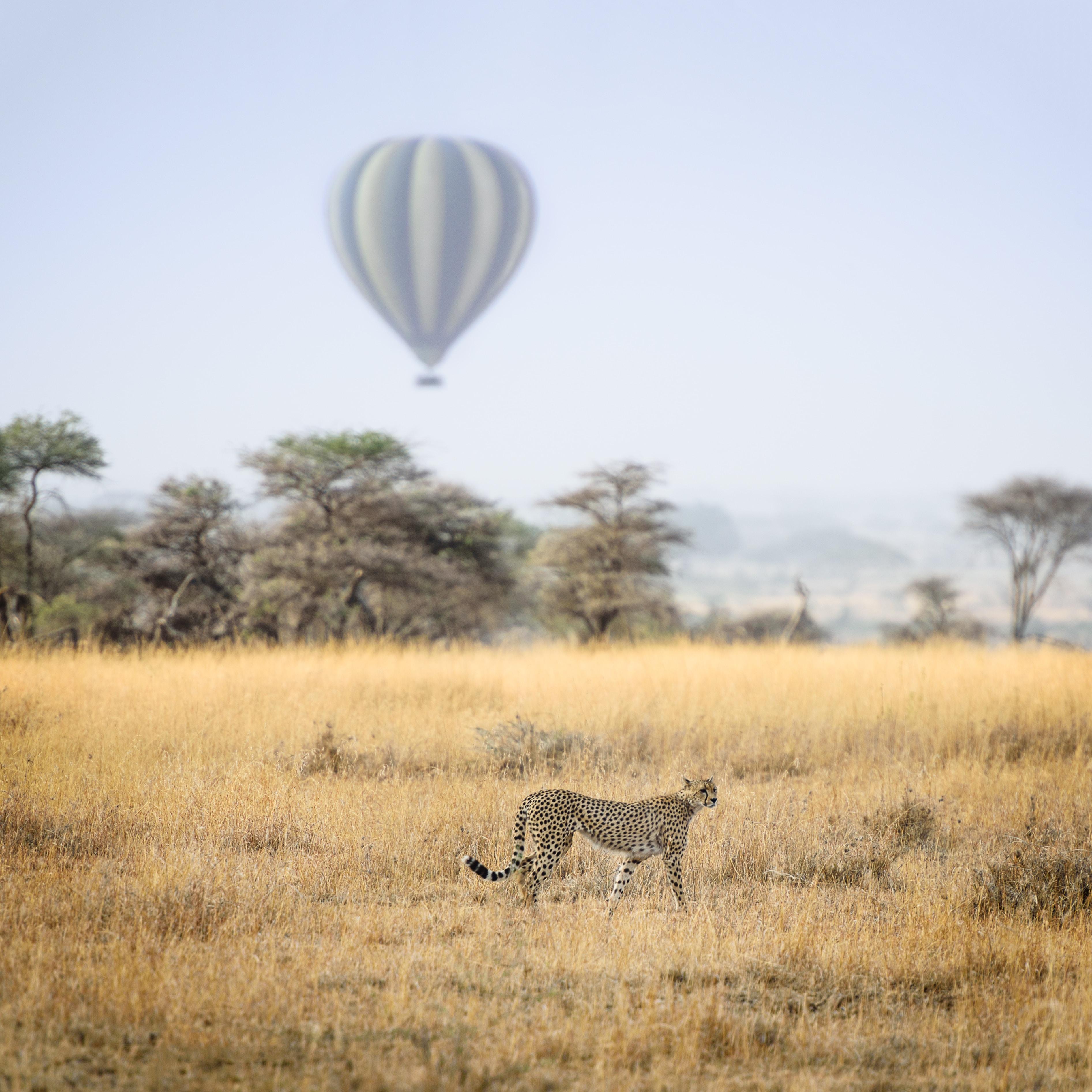 cheetah standing on grass plains during daytime