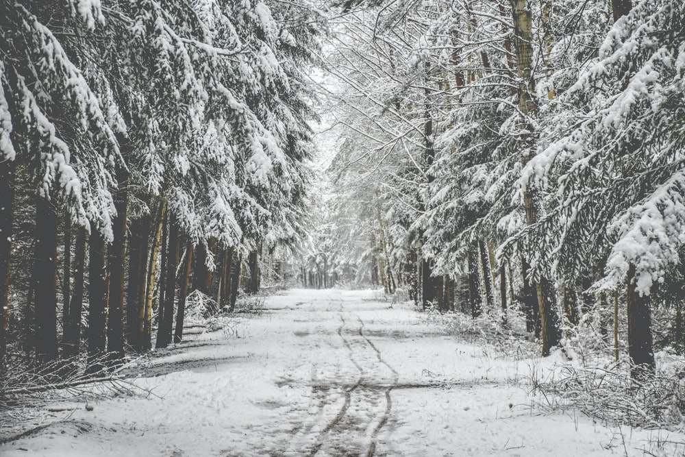 road in between pine trees covered with snow